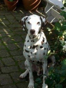 Seniorhunden - Den gamle hund.